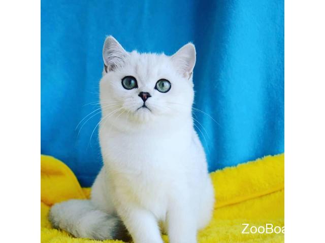 Британские котята серебристая шиншилла - 1/3