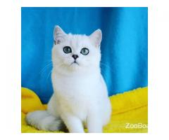 Британские котята серебристая шиншилла