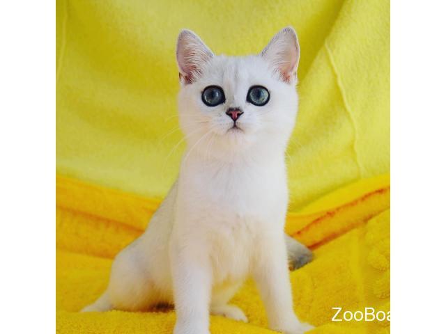 Британские котята серебристая шиншилла - 2/3