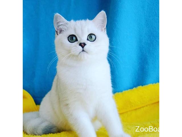 Британские котята серебристая шиншилла - 3/3