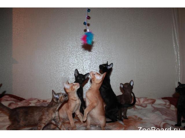 Ориентальные котята от заводчика - 3/4