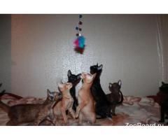 Ориентальные котята от заводчика