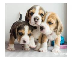Породистые щенки Бигля, резервирование