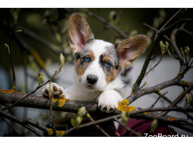 Welsh corgi cardigan - 2/4