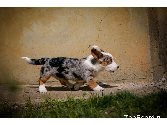 Welsh corgi cardigan - 3/4