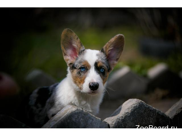 Welsh corgi cardigan - 4/4