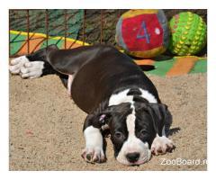 Породистый щенок Американского стаффордширского терьера