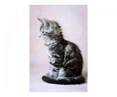 Котята Мейн-кун с отличной родословной готовы к переезду