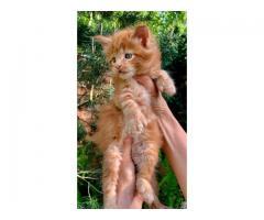 Редкие, эксклюзивные котята Мейн-кун