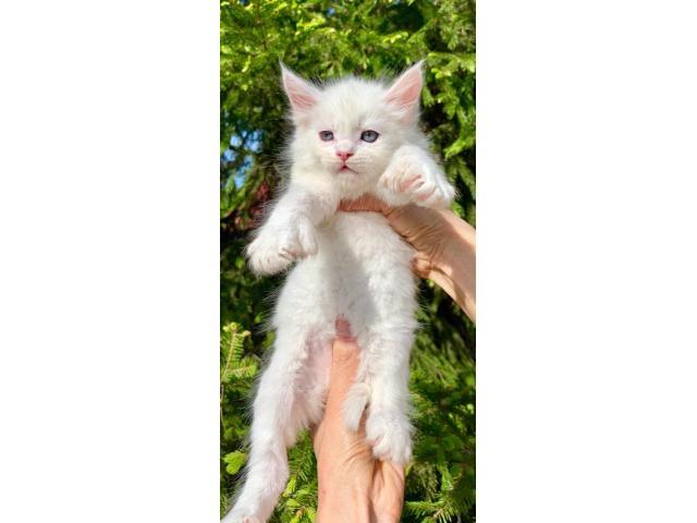 Редкие, эксклюзивные котята Мейн-кун - 3/4