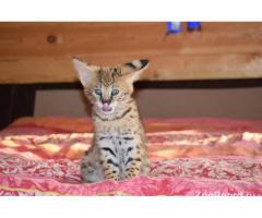 Домашние котята Сервала, с документами