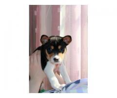 Перспективный щенок Басенджи с хорошей родословной