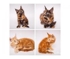Котята Мейн-кун с отличными породными данными