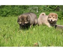 Породистые щенки Кавказской Овчарки