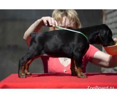 Породистые щенки Добермана из питомника